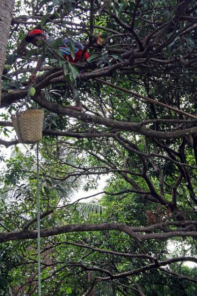 マンゴーの収穫