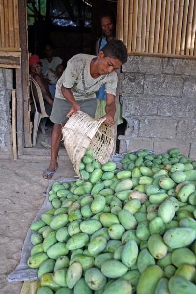 マンゴーを収穫するフィリピンの小規模農家