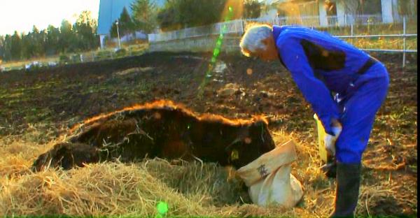 弱った牛になんとか食べさせようとしている松村直登さん=映画「ナオトひとりっきり Alone in Fukushima」より