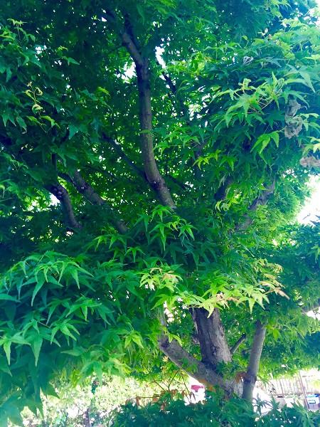 祖母宅の庭先の紅葉=堀内優美さん撮影