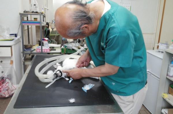 浪江町 豊田動物病院で不妊手術中の豊田正先生  撮影・松中みどり