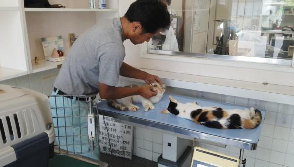豊田動物病院で不妊手術を受けた猫をシェルターに連れて帰る赤間さん 撮影:松中みどり