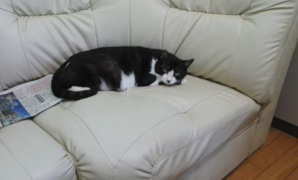 事務所の方にいる猫はすっかり普通の飼い猫です 撮影:松中みどり
