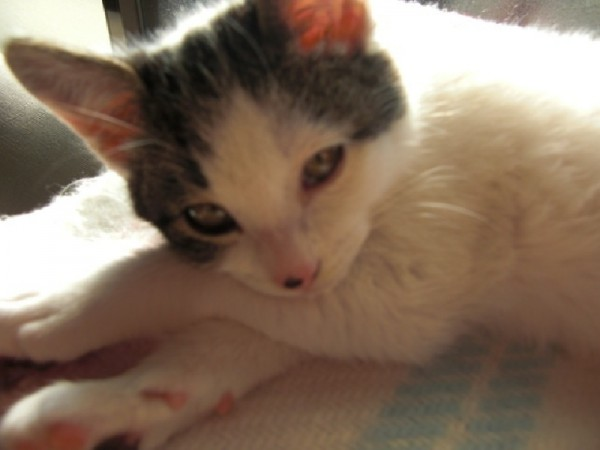 アンニュイな雰囲気、子猫のチト=撮影・猿丸知桂さん