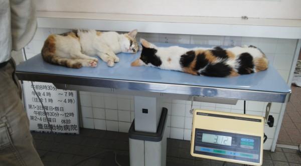 まだ麻酔が効いている猫たち 体重測定中 撮影・松中みどり