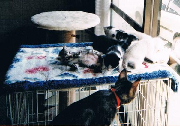 子猫を全部集めて撮りたくてゲージの上に。心配そうに見つめるしゃら=撮影・岩村美佳
