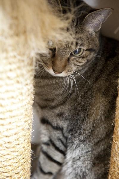 しゃら次郎。猫タワーの足下に隠れる。大きいカメラも怖がっていた=撮影・岩村美佳