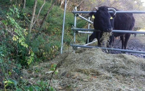 直登さんが面倒をみている牛=撮影・松中みどり