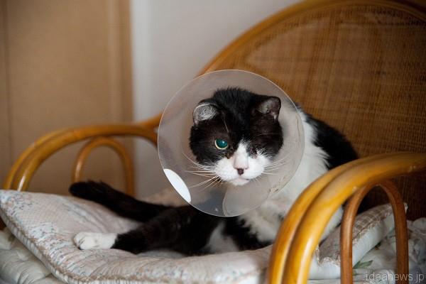 片目の政宗。猫たちに人気の椅子にて=撮影・岩村美佳