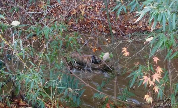 子どものイノシシを川に引きずり込んでいる石松=撮影・松中みどり