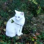 しろは、この日久しぶりに外に出ることができました。外だと本当に目立つ美しい白猫です=撮影・松中みどり