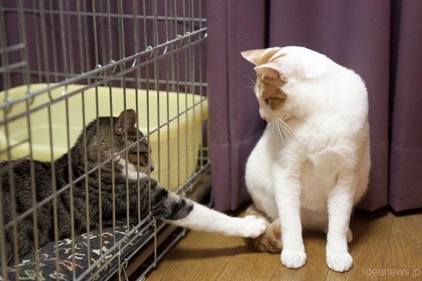 先輩猫たちと初対面。積極的な夢之助くん=撮影・岩村美佳