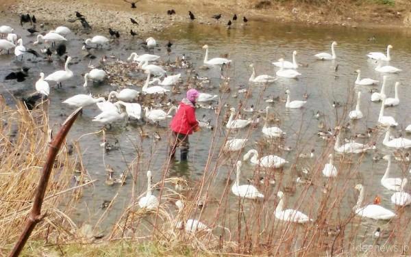 阿武隈川「白鳥飛来地」=撮影・松中みどり
