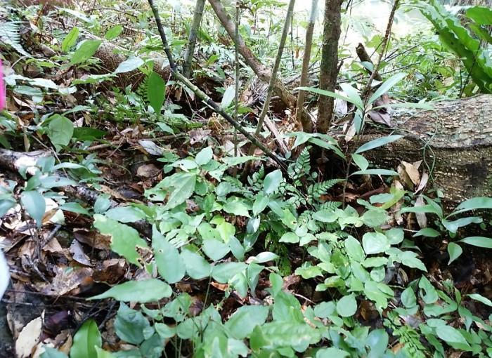 リュウキュウウラボシシジミの幼虫の食草であるトキワヤブハギ 2016年8月11日新川川流域にて=撮影・松中みどり