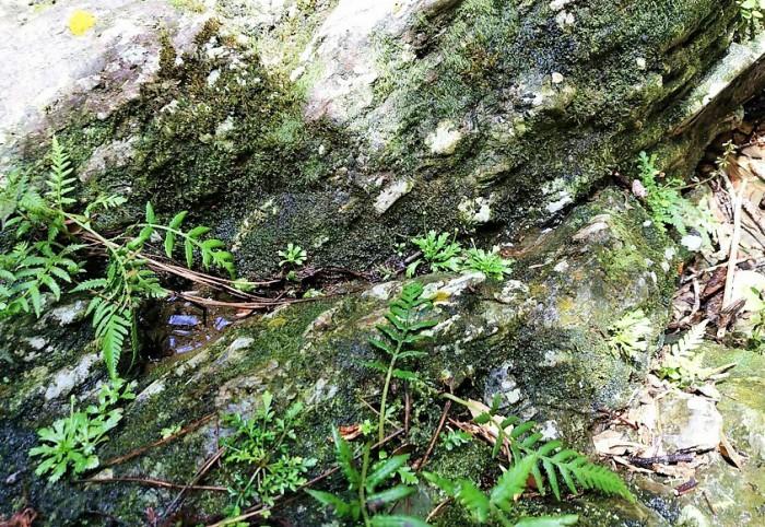 滝の近くで、絶滅危惧種のコケタンポポが生きていました=撮影・松中みどり