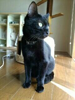 行方不明になっている黒猫「りゅた」君=「ネコジルシ」の迷い猫掲示板より