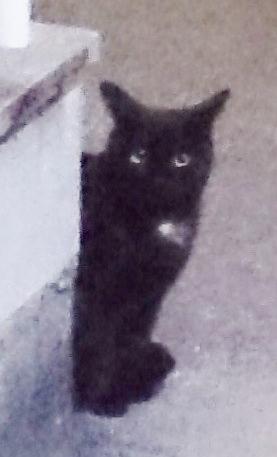 宝塚市鶴の荘で目撃された黒猫。胸に白い毛がありますが、りゅた君は腹の部分に白い毛があるので、りゅた君ではないようです=2016年11月19日提供
