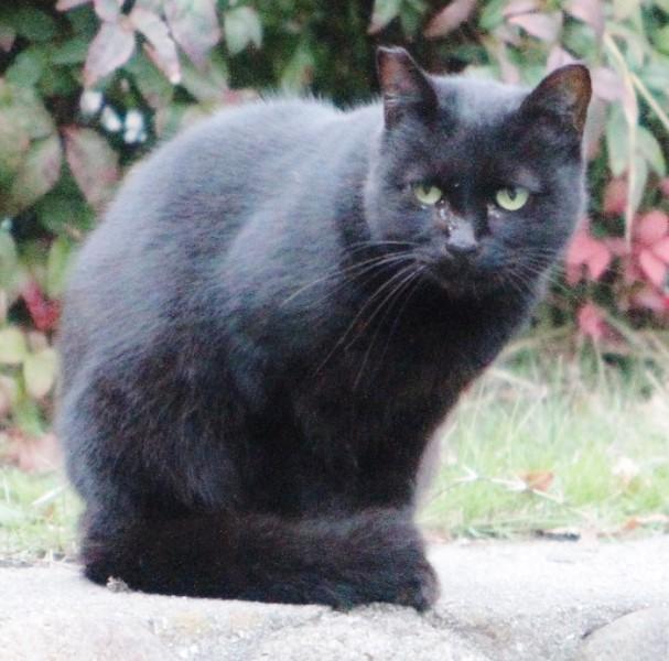 宝塚市今里町にいた黒猫。耳が「さくら耳」なので、りゅた君ではないと思われます=2016年11月21日、アイデアニュース・橋本正人撮影