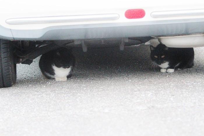宝塚市宝梅の駐車場にいた白ソックスの黒猫2匹。白ソックスなので、りゅた君ではありませんがご参考用に=2016年11月21日、アイデアニュース・橋本正人撮影