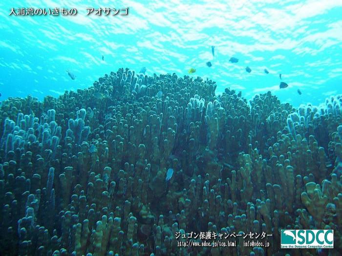 大浦湾のチリビシで発見された、アオサンゴ群集。ジュゴン保護キャンペーンセンター