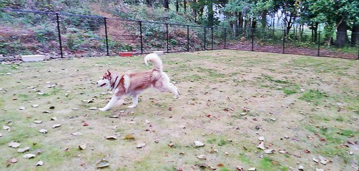 完成したドッグランを走る赤間さんのところのハスキー犬リアちゃん=撮影・松中みどり